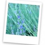 Lavender is an excellent companion plant